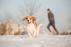 Training outside in cold snowy weather with beagle dog. Stock Photo