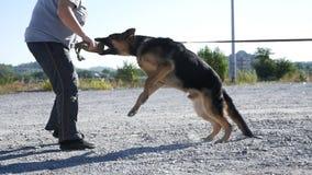 Training of a police dog.german shepherd at dog training