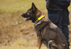 Training a police dog. On Frösön  Östersund in Sweden Royalty Free Stock Photos