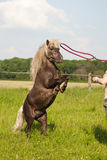 Training a pony Royalty Free Stock Photos