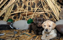 Training a puppy labrador dog about hunting. Preparing for hunting season with a new labrador puppy Royalty Free Stock Images