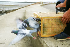 Training Racing Pigeons Stock Photos