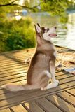Training red puppy of husky stock photos