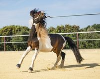 Retive pony in lunge Stock Photos