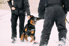 Training Of Rottweiler Metzgerhund Adult Dog. Attack And Defence Stock Photos