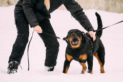 Training Of Rottweiler Metzgerhund Adult Dog. Attack And Defence Stock Photo