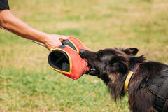 Training Scene Of Long-Haired German Shepherd Dog, Alsatian Wolf Dog Royalty Free Stock Photo