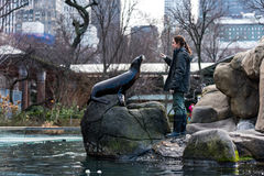 Training the Sea Lion. Sea lion feeding and training is part of animal enrichment program at Central Park Zoo in New York City Royalty Free Stock Images