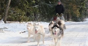 Training sled dogs on rural road. In winter stock video footage