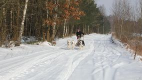 Training sled dogs on rural road. In winter stock footage