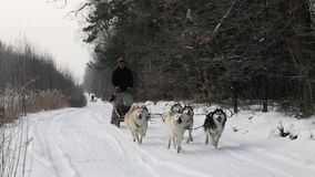 Training sled dogs on rural road. In winter stock video