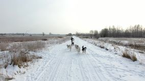 Training sled dogs on rural road in winter. Aerial view stock video footage