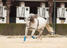 Training white horse on longe. Andalisia, Stock Photo
