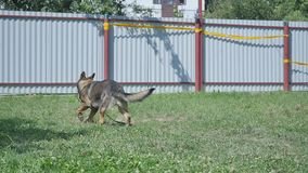 Training of working dog outdoors stock video footage