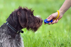 Training young dog with clicker Stock Images