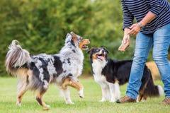 Trains de femme avec deux chiens Photos stock