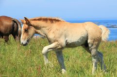 Trait Breton foal in a field in Brittany Stock Photos