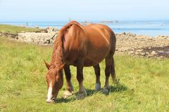 Trait Breton horse in a field in Brittany. Trait Breton horse in a field near the sea in Brittany stock photos