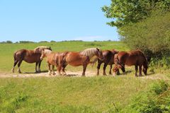Trait Breton horses in a field in Brittany Royalty Free Stock Image