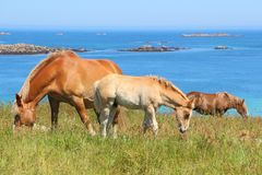 Trait Breton mare and her foal in a field in Brittany. Trait Breton mare and her foal in a field near the sea in Brittany stock images