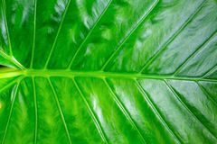 Trait horizontal flore extérieure brillante de banane verte basse de feuille de texture naturelle verticale de veines de fond image libre de droits
