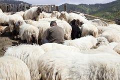 Traite des moutons dans les montagnes de mamie Canaria Photo stock