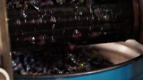 Traitement des baies des raisins Fin vers le haut banque de vidéos