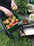 Traitement des pommes pour la production de jus photographie stock