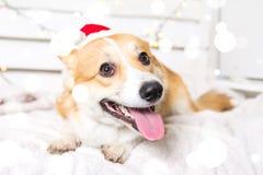 Traje de la Navidad del perro del Corgi Galés que lleva Año del concepto del perro Fotografía de archivo libre de regalías