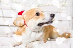 Traje de la Navidad del perro del Corgi Galés que lleva Año del concepto del perro Imágenes de archivo libres de regalías