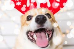 Traje de la Navidad del perro del Corgi Galés que lleva Año del concepto del perro Fotos de archivo