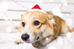 Traje de la Navidad del perro del Corgi Galés que lleva Año del concepto del perro Fotografía de archivo