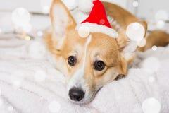 Traje de la Navidad del perro del Corgi Galés que lleva Año del concepto del perro Foto de archivo libre de regalías