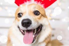 Traje de la Navidad del perro del Corgi Galés que lleva Año del concepto del perro Fotos de archivo libres de regalías