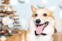 Traje de la Navidad del perro del Corgi Galés que lleva Año del concepto del perro Imagen de archivo libre de regalías