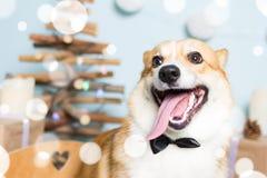 Traje de la Navidad del perro del Corgi Galés que lleva Año del concepto del perro Imagen de archivo