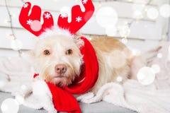 Traje de la Navidad del perro que lleva Año del concepto del perro Imagenes de archivo