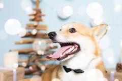 Traje vestindo do Natal do cão do Corgi de Galês Ano do conceito do cão fotos de stock