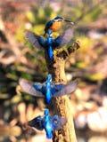 Trajectoire de vol commune de forager de martin-pêcheur image stock