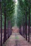 Trajeto alinhado árvore Foto de Stock