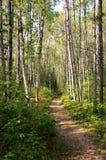 Trajeto através da floresta do vidoeiro imagem de stock