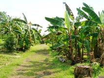 Trajeto através da plantação de banana imagem de stock royalty free