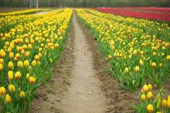 Trajeto através das tulipas Imagem de Stock