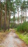 Trajeto através de um bosque do pinho Fotografia de Stock