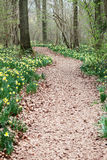 Trajeto através dos daffodils selvagens Imagem de Stock Royalty Free