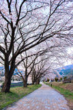 Trajeto da flor de cerejeira Foto de Stock Royalty Free