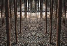Trajeto de árvores simétricas fotografia de stock