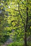 Trajeto de floresta com a árvore de linden retroiluminada Imagem de Stock Royalty Free
