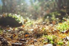 Trajeto de floresta iluminado pelo sol, vista inferior outono, folhas caídas, agulhas Fotografia de Stock