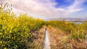 Trajeto de passeio alinhado com os wildflowers do negro do Brassica da mostarda preta, área de San Jose, San Francisco Bay, Calif fotografia de stock royalty free